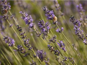 lavender for herbal soap