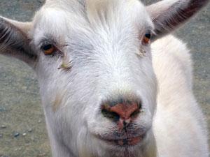 claude the goat