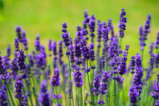 grow your own lavender